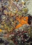Adeonella;Adeonidae;Adeonoidea;Ascophora;Bryozoa;Cheilostomatida;Gymnolaemata;Medelhavet;Umbonulomorpha;mossdjur