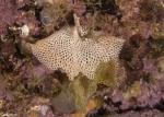 Bryozoa;Celleporoidea;Cheilostomatida;Flustrina;Gymnolaemata;Phidoloporidae;Reteporella;mossdjur