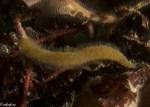 Alcyonidiidae;Alcyonidioidea;Alcyonidium;Alcyoniidina;Bryozoa;Ctenostomatida;Gymnolaemata;Vinga;mossdjur
