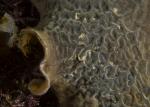Bryozoa;Cheilostomata;Einhornia;Electridae;Gymnolaemata;mossdjur