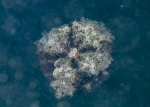 Cassiopeidae;Cnidaria;Discomedusae;Kampylomyaria;Kolpophorae;Rhizostomeae;Scheibenqualle;Scyphozoa;jellyfish;manet;nässeldjur