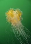 Cnidaria;Cyanea;Cyaneidae;Fahnenqualle;Scyphozoa;Semaeostomeae;Vinga;manet;nässeldjur