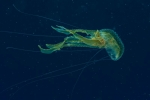 Cnidaria;Discomedusae;Fahnenqualle;Pelagia;Pelagiidae;Scheibenqualle;Scyphozoa;Semaeostomeae;manet;nässeldjur