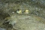 Actinopterygii;Bothidae;Bothus;Gnathostomata;Indopacific;Pisces;Plattfisch;Pleuronectiformes;Vertebrata;flatfish;plattfisk