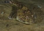 Actinopterygii;Cottidae;Cottoidei;Gnathostomata;Gullmarn;Myoxocephalus;Pisces;Scorpaeniformes;Vertebrata;simpa;skorpionfisk