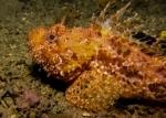 Actinopterygii;Gnathostomata;Medelhavet;Pisces;Scorpaena;Scorpaenidae;Scorpaeniformes;Scorpaeninae;Scorpaenoidei;Skorpionfisch;Vertebrata;drakhuvud;skorpionfisk