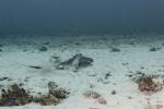 Batoidea;Caribbean-Sea;Dasyatidae;Dasyatis;Elasmobranchii;Gnathostomata;Myliobatiformes;Neoselachii;Pisces;Rochen;Vertebrata;rocka