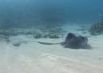Batoidea;Caribbean-Sea;Dasyatidae;Elasmobranchii;Gnathostomata;Myliobatiformes;Neoselachii;Pastinachus;Pisces;Rochen;Vertebrata;rocka