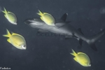 Carcharhinidae;Carcharhiniformes;Carcharhinus;Elasmobranchii;Galeomorphi;Gnathostomata;Indopacific;Neoselachii;Pisces;Selachii;Vertebrata;haj;shark