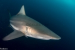 Carcharhinidae;Carcharhiniformes;Carcharhinus;Elasmobranchii;Galeomorphi;Gnathostomata;Neoselachii;Pisces;Selachii;Sydafrika;Vertebrata;haj;shark