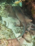 Caribbean-Sea;Elasmobranchii;Galeomorphi;Ginglymostoma;Ginglymostomatidae;Gnathostomata;Neoselachii;Orectolobiformes;Pisces;Selachii;Vertebrata;haj;shark