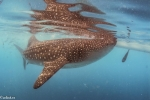 Elasmobranchii;Galeomorphi;Gnathostomata;Neoselachii;Orectolobiformes;Pisces;Rhincodon;Rhincodontidae;Selachii;Vertebrata;haj;shark