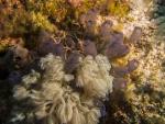Aplousobranchia;Ascidiacea;Chordata;Clavelina;Clavelinidae;Seescheide;Tunicata;manteldjur;sjöpung