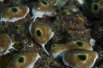 Aplousobranchia;Atriolum;Chordata;Didemnidae;Seescheide;Tunicata;manteldjur;sjöpung