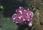 Aplousobranchia;Ascidiacea;Chordata;Didemnidae;Didemnum;Seescheide;Tunicata;sjöpung
