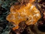 Aplousobranchia;Ascidiacea;Chordata;Didemnidae;Lissoclinum;Seescheide;Tunicata;manteldjur;sjöpung