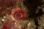 Ascidia;Ascidiacea;Ascidiidae;Chordata;Phlebobranchia;Seescheide;Tunicata;manteldjur;sjöpung