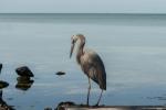 Pelikanfåglar