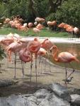 Flamingofåglar